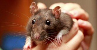 звуки домашних крыс
