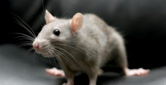 крыса издает странные звуки