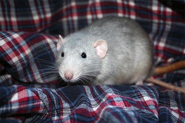 звуки которые издают крысы