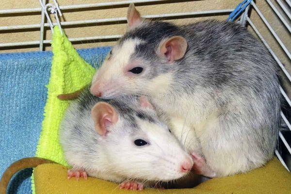 звуки крысы