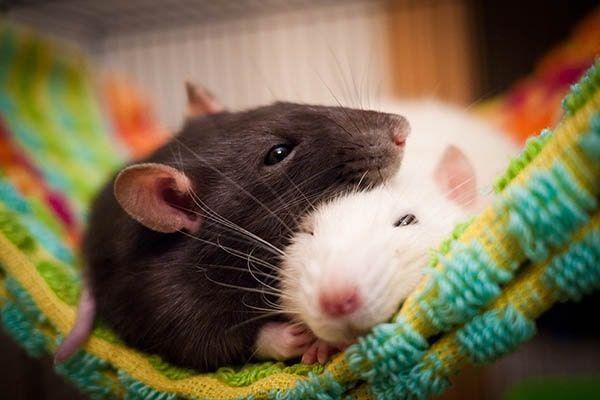 какие звуки крысы издают