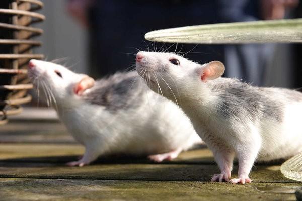 звуки издаваемые крысами