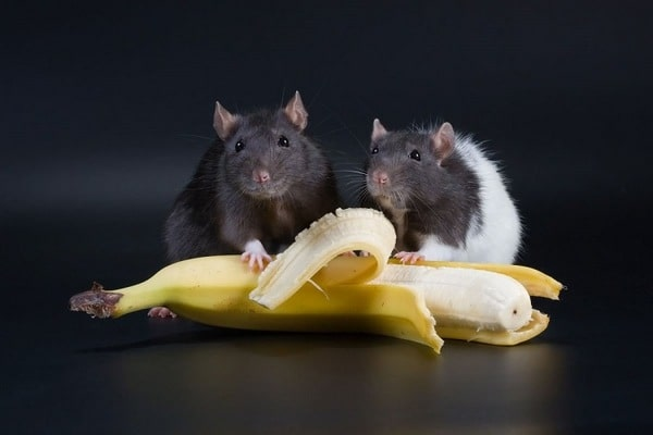 можно ли крысам бананы