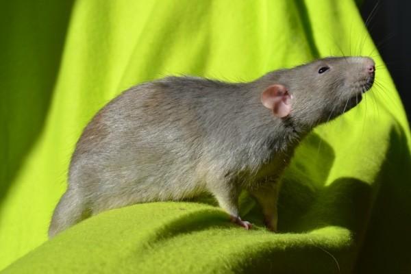 Крысы «Дамбо»