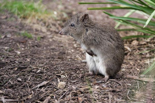 Рыжая кенгуровая крыса
