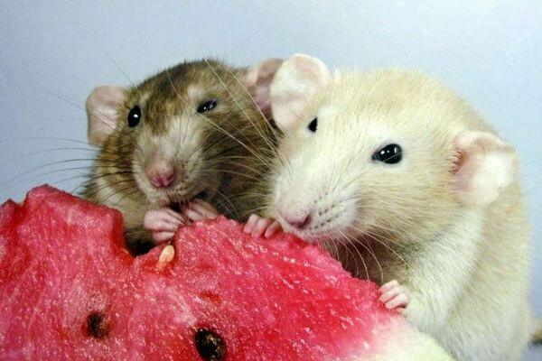 арбуз крысам