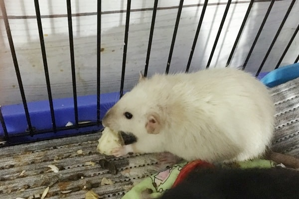 можно ли домашней крысе банан
