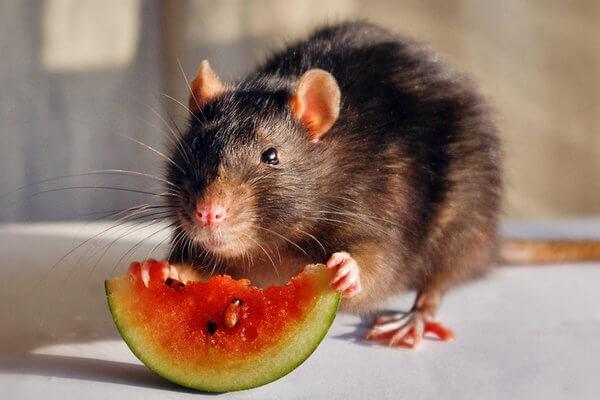 можно ли крысам арбуз