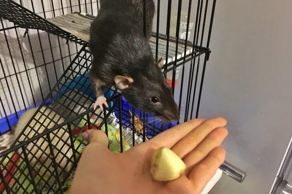 можно крысам банан
