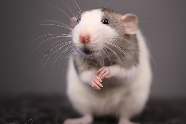 крысы дамбо уход