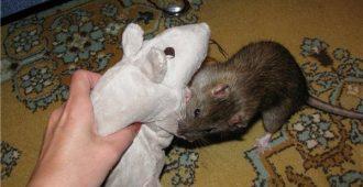 декоративная крыса кусается что делать