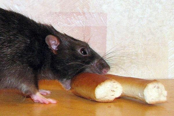 болезнь от укуса крыс