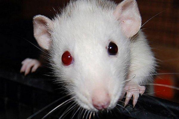 декоративная крыса начала кусаться