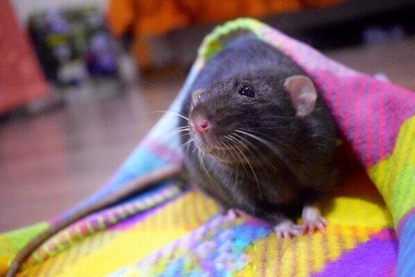 антибиотики при укусе крысы