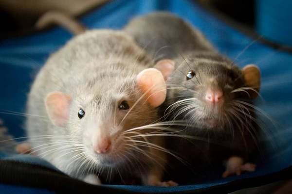 как поймать домашнюю крысу