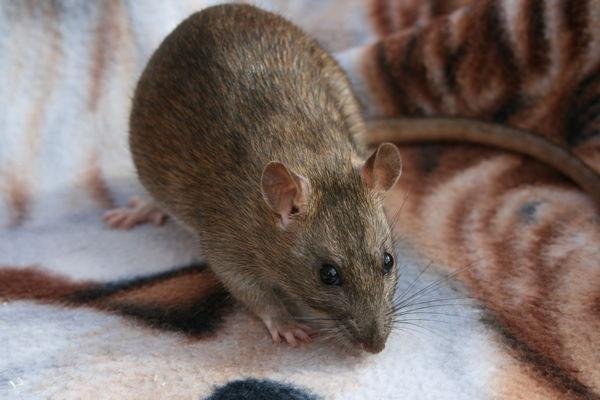 декоративная крыса Крупные коричневые крысы