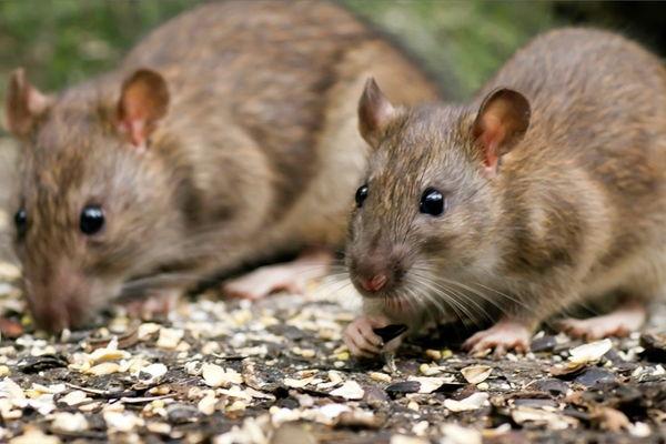 пасюк крыса
