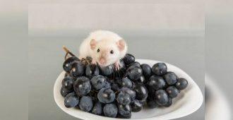 можно ли виноград крысам