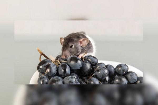 можно ли домашним крысам виноград