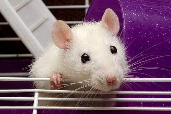 как поймать домашнюю крысу в квартире