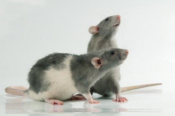 убежала крыса из клетки как поймать
