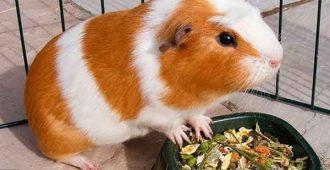 корм для морских свинок
