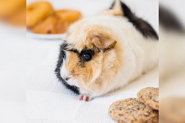 можно ли морским свинкам давать хлеб