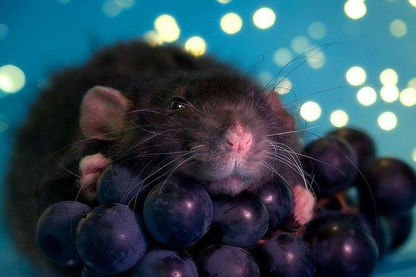 можно ли крысам давать виноград