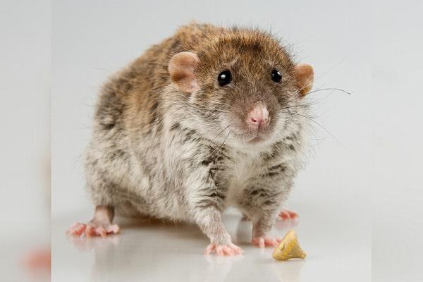 крыса дамбо фото