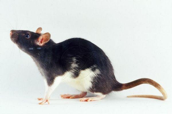 декоративная крыса стандарт