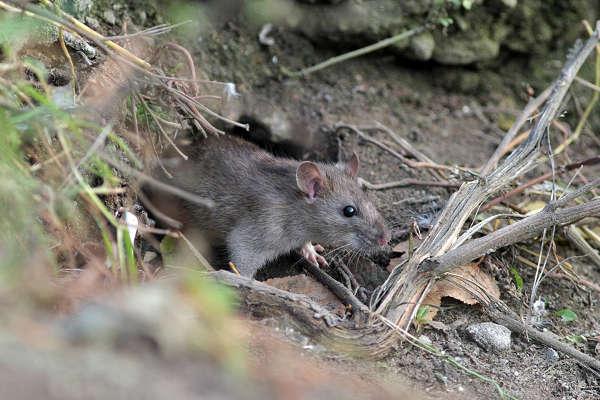 Дикие большие крысы