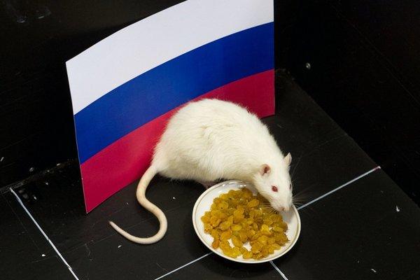 можно ли крысам виноград кишмиш