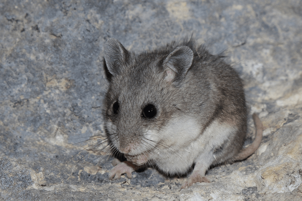 Породы домашних и диких хомяков: список, описание, фото