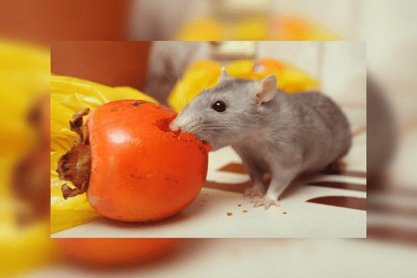 Хурма в рационе декоративной крысы