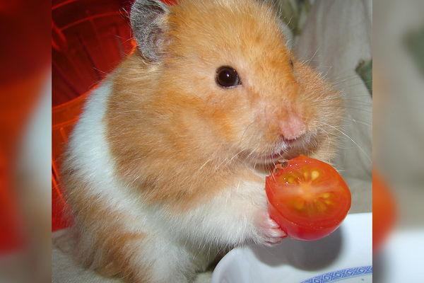 Хомячок ест томат