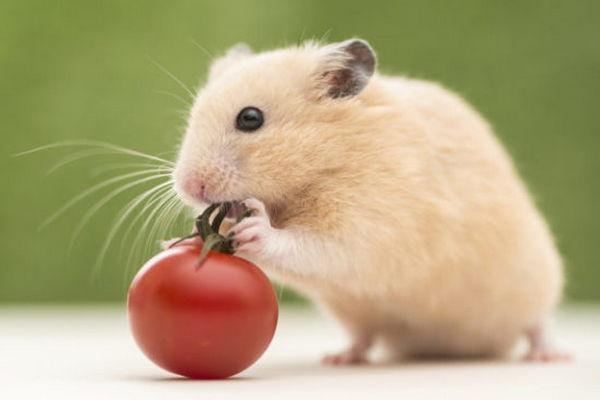 Хомяк и помидор черри