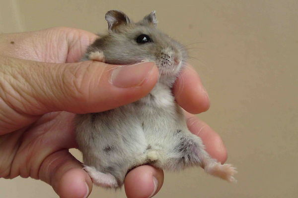 Беременный джунгарский хомячок