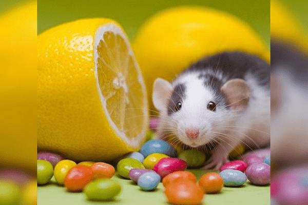 Крыса и лимон