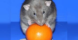 Крыса и апельсин