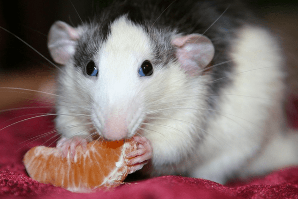 Крыса ест мандарин