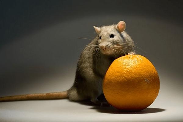 Крыса с апельсином