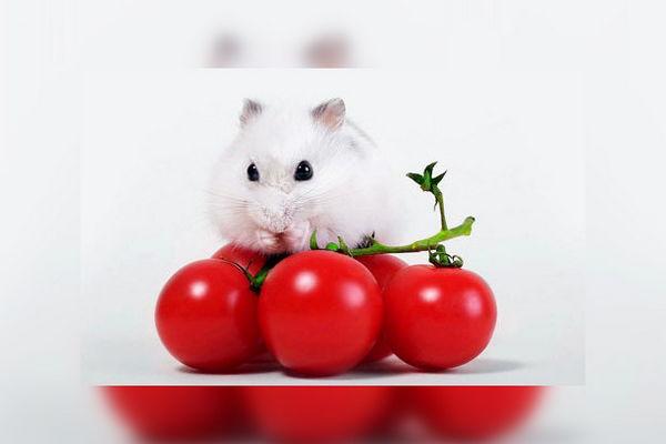 Хомячок и томаты