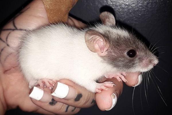 Разновидности домашних крыс. Какие существуют виды и породы декоративных крыс?