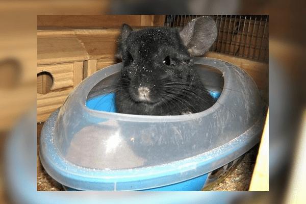 Шиншилла сидит в купалке