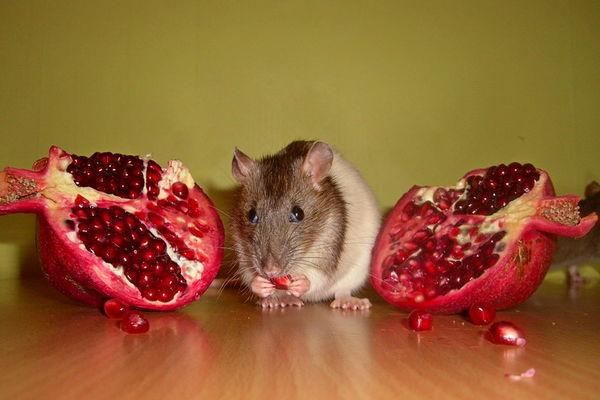 Декоративная крыса ест гранат
