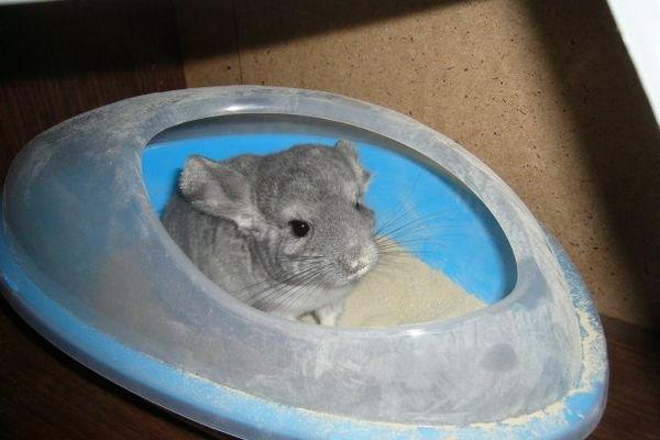 Шиншилла в купалке