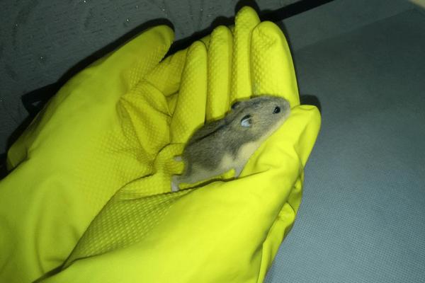 Не берите маленьких хомячков голыми руками