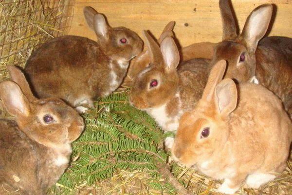 Можно ли давать кроликам хвою? Сосна и елка в рационе декоративного кролика