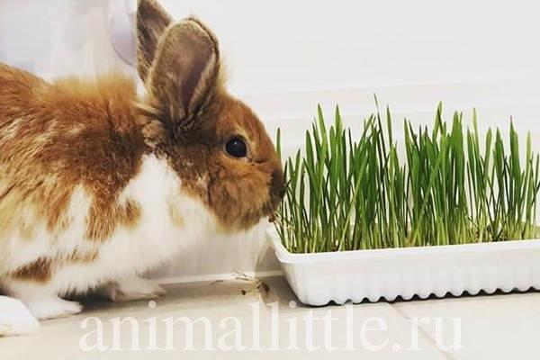 Трава для кролика, выращенная на окне