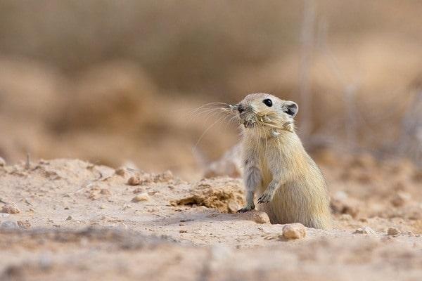Песчанка в дикой природе - животное пустыни, питание, враги, образ жизни    Грызун белая песчанка